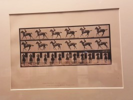 Cheval au galop (Muybridge, 1887)